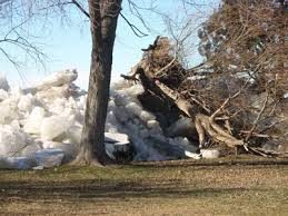 Ice Shove uprooting trees